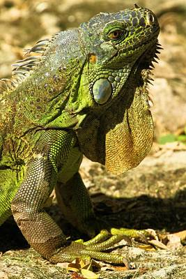 Photograph - Green Cozumel Iguana by Adam Jewell