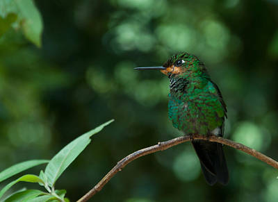 Photograph - Green-crowned Brilliant by Cascade Colors
