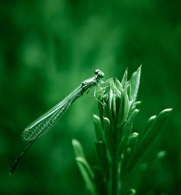 Macro Dragonfly Photograph - Green Damselfly by Shane Holsclaw