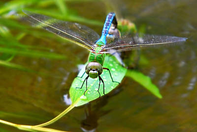 Macro Dragonfly Photograph - Green Darner Dragonfly by Christina Rollo