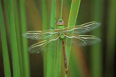 Green Darner Dragonflies Photograph - Green Darner Dragonfly On Reeds by Jaynes Gallery
