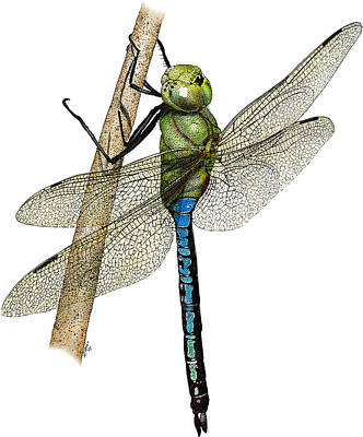 Green Darner Dragonflies Photograph - Green Darner Dragonfly by Roger Hall