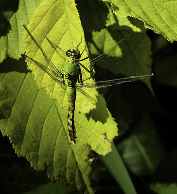 Green Darner Dragonflies Photograph - Green Darner Dragonfly  by Thomas Young