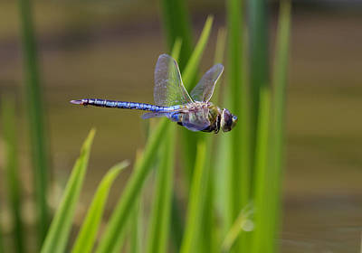 Photograph - Green Darner Flight by David Lester