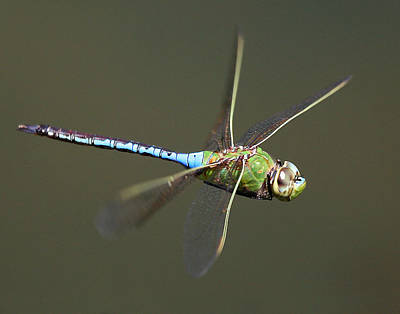 Photograph - Green Darner In Flight by Robert Woodward