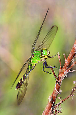 Photograph - Green Dragon by Theo