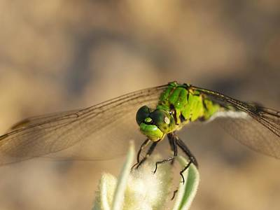 Photograph - Green Dragonfly by Billy  Griffis Jr