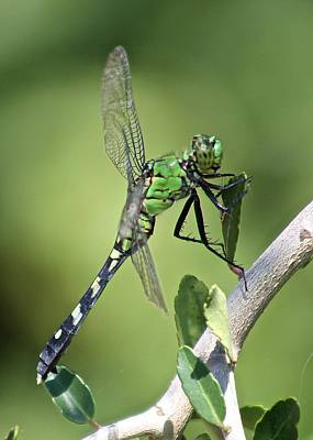 Photograph - Green Dragonfly Eastern Ponhawk by Jeanne Kay Juhos