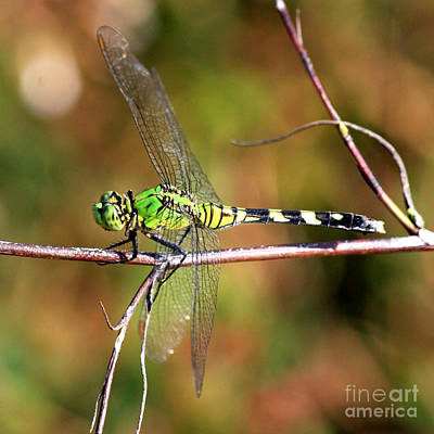 Photograph - Green Dragonfly On Twig Square by Carol Groenen
