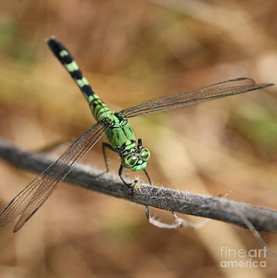 Photograph - Green Dragonfly Square by Carol Groenen
