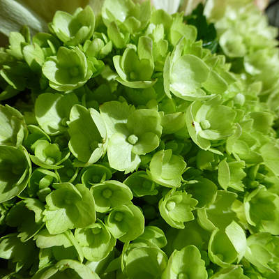 Photograph - Green Flowers 1 by Claudia Goodell
