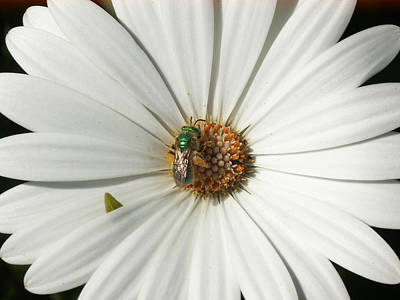 Green Fly On White Flower Art Print