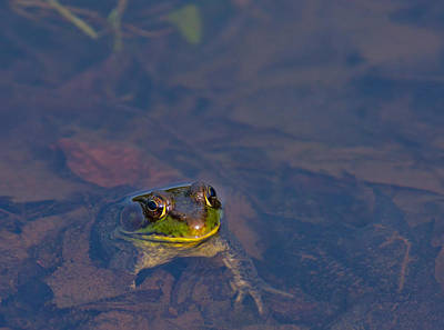 Photograph - Green Frog by Melinda Fawver