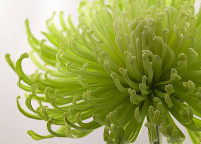 Photograph - Green Fuji Mum by Michael Yeager