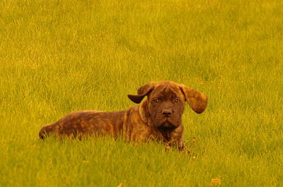 English Mastiff Photograph - Green Grass And Floppy Ears by Jeff Swan