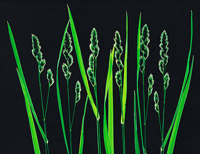Green Grass Reeds On Black Background Art Print by Panoramic Images