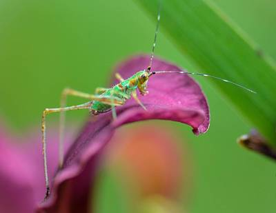 Photograph - Green Grasshopper by Amy Porter