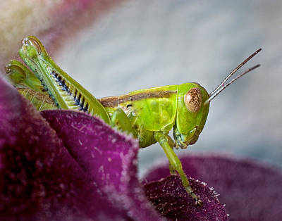 Photograph - Green Grasshopper I by David and Carol Kelly