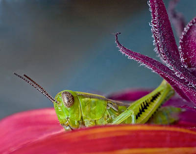 Photograph - Green Grasshopper On Red Sunflower by David and Carol Kelly