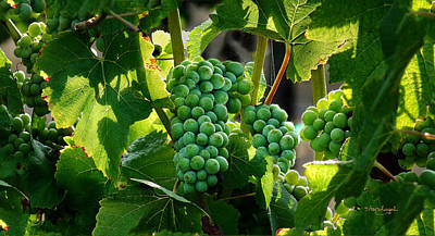 Pinot Noir Photograph - Green Green Grapes Of Home. by Stan Angel