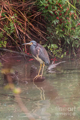 Photograph - Green Headed Heron  by Terry Cotton