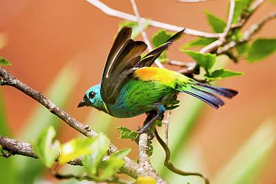 Sete Photograph - Green-headed Tanager Tangara Seledon by Leonardo Mercon