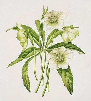 Green Hellebore Art Print