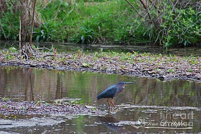 Photograph - Green Heron 20120421_142a by Tina Hopkins