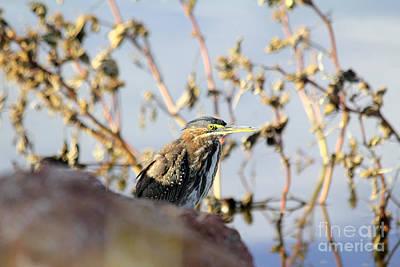 Photograph - Green Heron Among Cockleburs by Alycia Christine