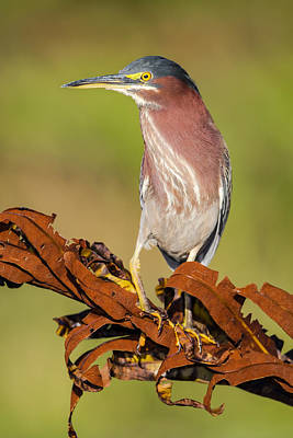 Green Heron Art Print by Andres Leon