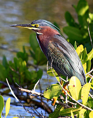 Green Heron At Minwr Art Print