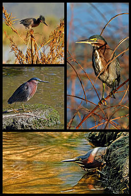 Photograph - Green Heron Autumn by Dawn Currie