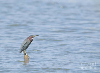 Photograph - Green Heron by Dan Suzio