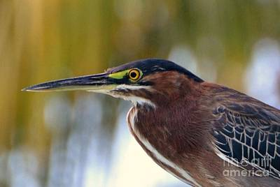 Photograph - Green Heron by Darla Wood