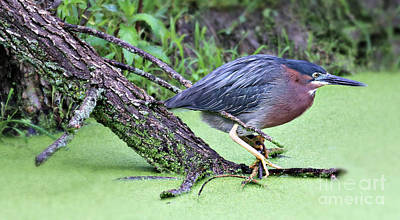 Photograph - Green Heron by Elizabeth Winter