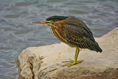 Wetlands Photograph - Green Heron, Fernhill Wetlands, Forest by Michel Hersen