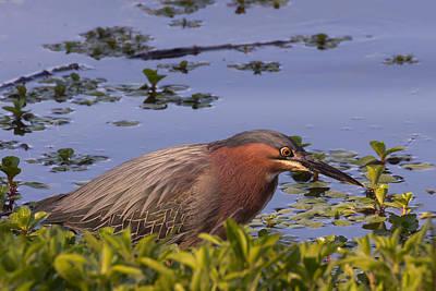 Kathleen Photograph - Green Heron Fishing Along Clearlake In Northern California by Kathleen Bishop