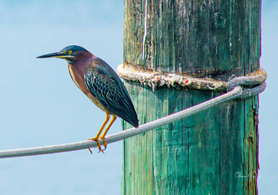Photograph - Green Heron I by Susan Molnar
