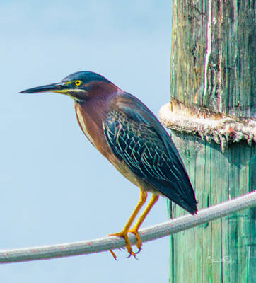 Photograph - Green Heron II by Susan Molnar