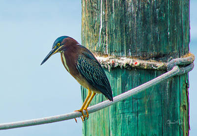 Photograph - Green Heron IIi by Susan Molnar