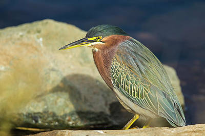 Green Heron In Repose On The Shore Print by Michael Qualls