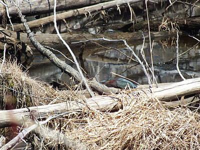 Photograph - Green Heron In Spring by Gene Cyr