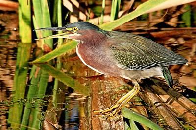 Photograph - Green Heron by Ira Runyan