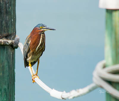 Photograph - Green Heron Iv by Susan Molnar