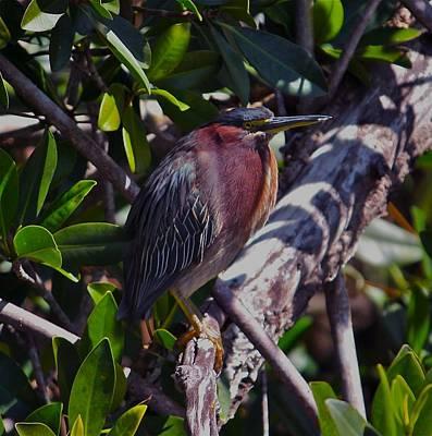 Photograph - Green Heron by Kathleen Scanlan