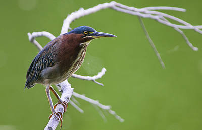 Photograph - Green Heron by Larry Bohlin