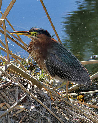 Green Heron  Art Print by Mariola Bitner