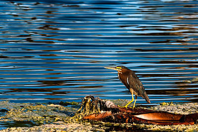 Photograph - Green Heron On Palm Frond by Ed Gleichman