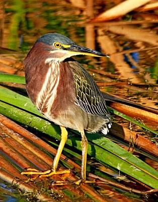Photograph - Green Heron On Reeds by Ira Runyan