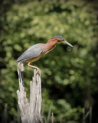 Green Heron On Stump Art Print